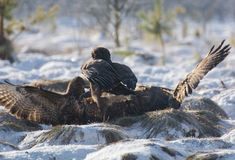 Bussard Stockfotos