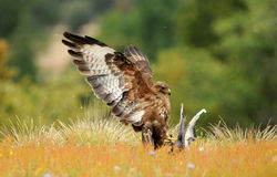 Bussard, der eine Taube auf dem Gebiet jagt Lizenzfreie Stockfotos