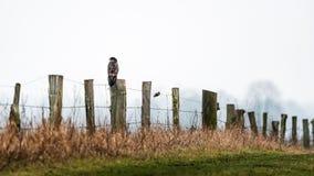 Bussard sulla trave di legno Fotografie Stock Libere da Diritti