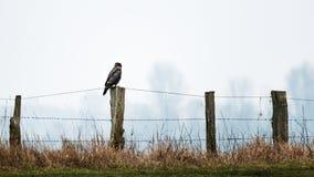 Bussard sur le poteau en bois de barrière photos libres de droits