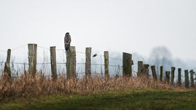 Bussard on wooden fence post. Near by Wesel in Germany Royalty Free Stock Photography