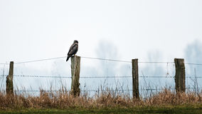 Bussard on wooden fence post royalty free stock photos