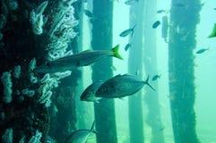 Busselton跳船:与鱼的水下的礁石 免版税图库摄影