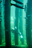 Busselton跳船:鱼、礁石和轻潜水员 图库摄影