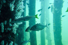 Busselton Jetty: Underwater Reef with Fish Royalty Free Stock Photography