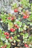 Busserole (arctostaphylos) Image libre de droits
