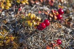 Busseroles en automne dans l'Arctique images stock