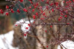 Bust with red berries. In a snowy day during the winter Royalty Free Stock Photography