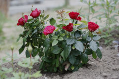 Bust of roses in the garden. Stock Image