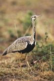 Bustard Royalty Free Stock Photos