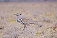 Bustard. The Kori bustard ,Ardeotis kordi, is probably the largest bird capable of flying Stock Photo