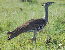Bustard Royalty Free Stock Image