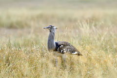 Bustard in the African savannah Royalty Free Stock Photo