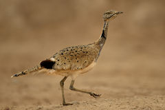 Bustard. Arabic Bustard very rare bird in Middle east Royalty Free Stock Images