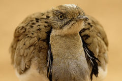 Bustard. Arabic Bustard very rare bird in Middle east Stock Photography
