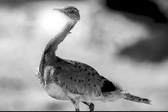 Bustard. Arabic Bustard very rare bird in Middle east stock photo