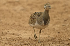 Bustard. Arabic Bustard very rare bird in Middle east stock photos
