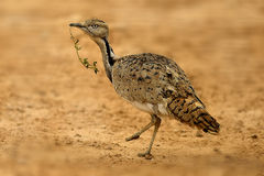 Bustard. Arabic Bustard very rare bird in Middle east Royalty Free Stock Photo