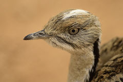 Bustard. Arabic Bustard very rare bird in Middle east Royalty Free Stock Image