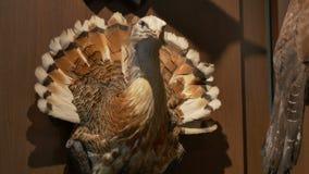 Bustard Bird Hunted on Wall stock video footage