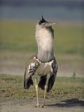 Bustard d'oiseau-Kori de l'Afrique Image libre de droits