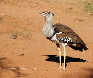Bustard de Kori, l'oiseau le plus lourd capable du vol Photos stock