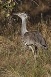 Bustard de Kori - Namibie Image stock
