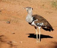 Bustard de Kori, o pássaro o mais pesado capaz do vôo Fotos de Stock