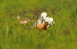 Bustard steppe turning cartwheels Stock Photo