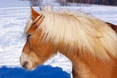 Buste de cheval sur la neige image libre de droits