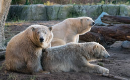 Busted while playing. A polar bear busted while playing with his sister. Their father on the background Stock Image