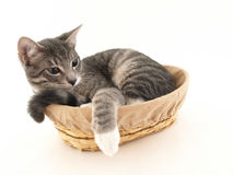 Buster in a Basket Royalty Free Stock Photo