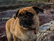 Buster the pug. Buster on the beach Royalty Free Stock Photos