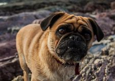 Buster the pug. Buster on the beach Stock Photos
