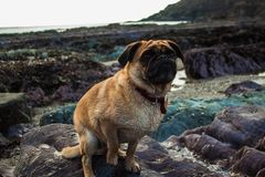 Buster the pug. Buster on the beach Stock Image