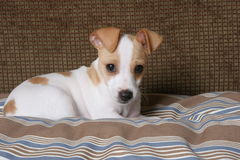 Buster the puppy. An adorable Jack Russell puppy posing on his bed royalty free stock photography