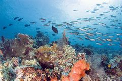 Bustling Reef. Fishes at a coral reef. Sipadan. Indonesia Royalty Free Stock Photo