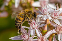 `Busy As a Bee`. According to research, a large beehive has over 80,000 bees. They collect nectar from million of plants to make a pound of honey. And also they Royalty Free Stock Photos