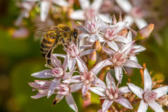 `Busy As a Bee`  2-10. According to research, a large beehive has over 80,000 bees. They collect nectar from million of plants to make a pound of honey. And also Royalty Free Stock Images