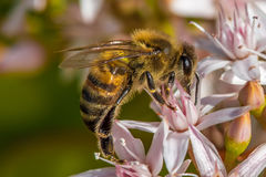 `Busy As a Bee`  2-7. According to research, a large beehive has over 80,000 bees. They collect nectar from million of plants to make a pound of honey. And also Royalty Free Stock Photos