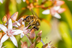 `Busy As a Bee`  2-9. According to research, a large beehive has over 80,000 bees. They collect nectar from million of plants to make a pound of honey. And also Stock Image