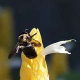 Busy as a Bee. A Bee Hard at Work Gathering Nectar Stock Photos