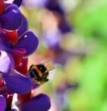 Busy as a Bee. Wild Bee collecting Lupin nectar Stock Photos