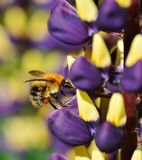 Busy as a Bee. Wild Bee collecting Lupin nectar Royalty Free Stock Photo