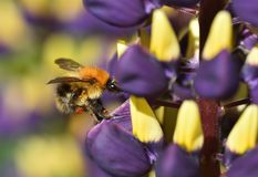 Busy as a Bee. Wild Bee collecting Lupin nectar Royalty Free Stock Image