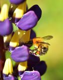 Busy as a Bee. Wild Bee collecting Lupin nectar Stock Photography