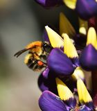 Busy as a Bee. Wild Bee collecting Lupin nectar Stock Photo