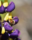 Busy as a Bee. Wild Bee collecting Lupin nectar Stock Image