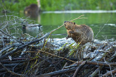 Busy Beaver. A beaver surveys his dam along the Snake River in Grand Teton National Park, Wyomig