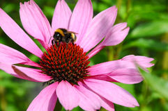 Bumble bee on a big flower Royalty Free Stock Photos